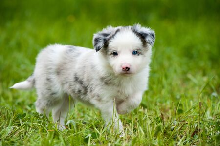 border collie puppy: Border collie puppy