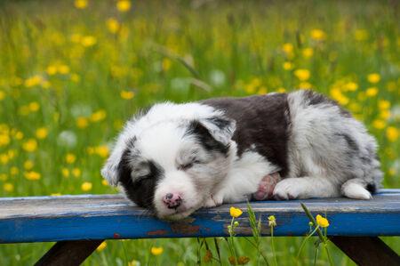 border collie: Border collie dog on a garden bench
