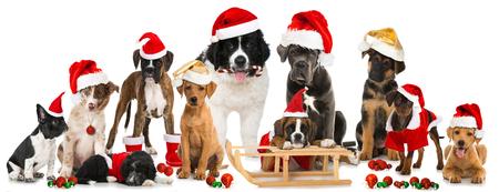 christmas hats: Christmasdogs Stock Photo