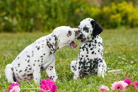 dalmatian: Dalmatian puppies playing on a meadow