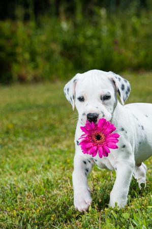 dalmatian: Dalmatian puppy in a meadow
