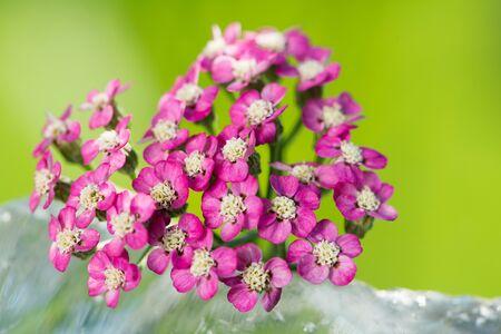 yarrow: Pink yarrow Stock Photo