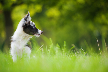 Border collie puppy in nature Stock Photo