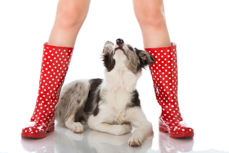 Border collie between human legs in rubber boots Banque d'images