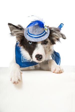 Young dog with bavarian neckerchief and has