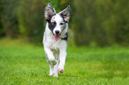 Young border collie dog running to the camera