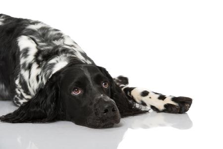 Munsterlander dog on white background