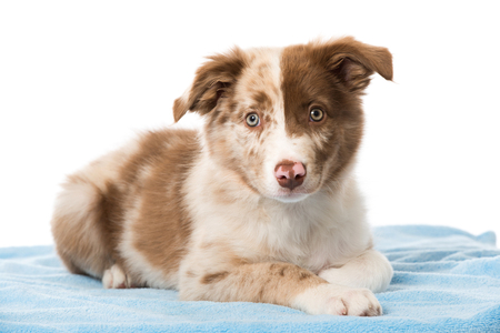 Border collie puppy lying on a blue blanket