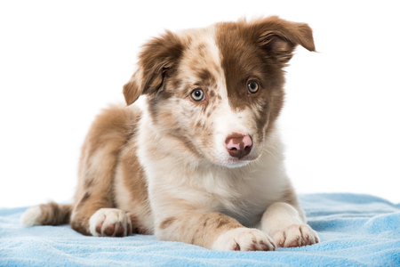 Border collie puppy lying on a blue blanket isolated on white background