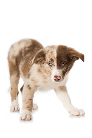 Cute baby or collie puppy standing isolated on white Foto de archivo - 133378584
