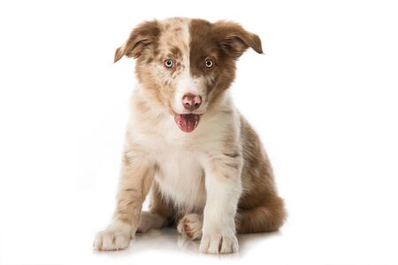 Cute baby or collie puppy sitting isolated on white Foto de archivo - 133378585