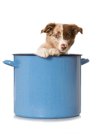Border collie puppy sits in a large cooking pot Stock Photo