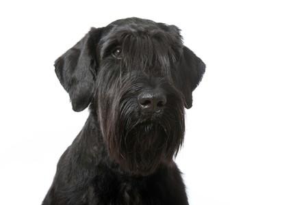 Giant schnauzer dog isolated on white Stock fotó