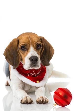 Beagle with christmas scarf