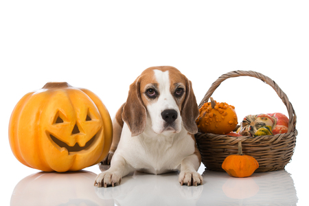 Adult beagle with pumpkins isolated on white
