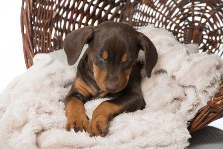 Sleeping pinscher puppy with blanket in a basket 版權商用圖片