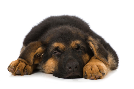 Sleeping german shepherd puppy isolated on white
