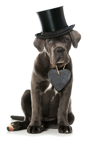 Cane puppy with hat and heart on white background Stock Photo