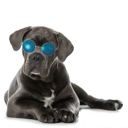 Cane dog with sun glasses isolated on white
