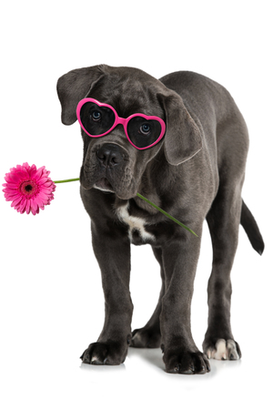 Cane corso puppy with flower and heart glasses standing on white background