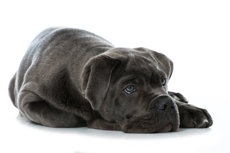 Cane corso puppy lying on white background