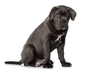Cane corso puppy sitting on white background