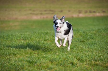 Running border collie dog Stock Photo
