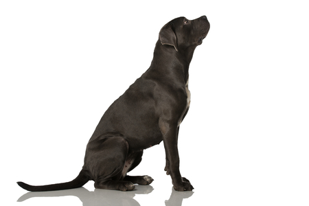 Cane corso dog isolated on white background