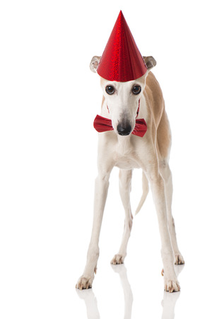 Whippet with hat and tie Reklamní fotografie