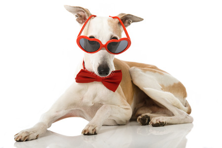 Whippet dog with heart glasses