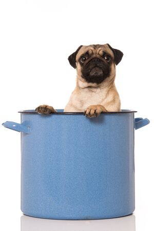 Pug sitting in a big pot