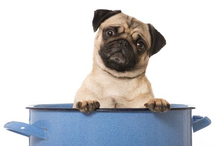 Pug is sitting in a big pot