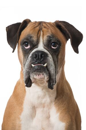 Portrait of an adult boxer dog isolated on white Stock Photo
