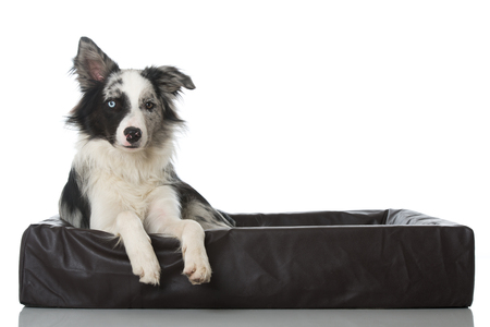 Lying border collie dog in a dog bed on white background
