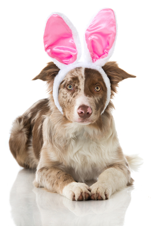 Border collie puppy with pink bunny ears Stock Photo