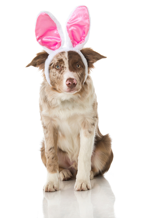 Border collie puppy with pink bunny ears Reklamní fotografie