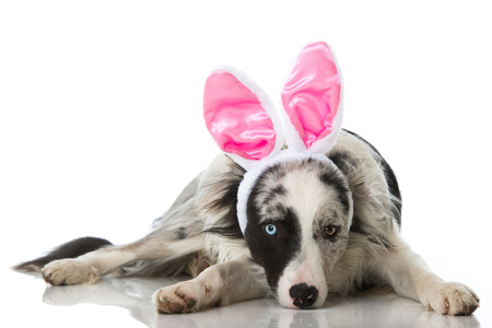 Border collie dog with bunny ears isolated on white