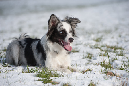 Border collie dog lying in winter landscape Stock Photo