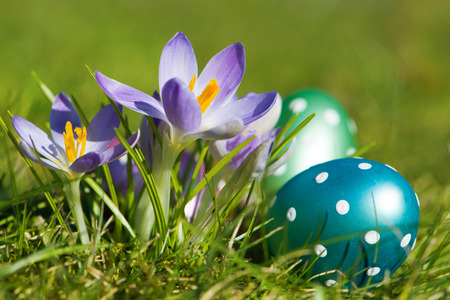 Crocuses with easter eggs in a green meadow