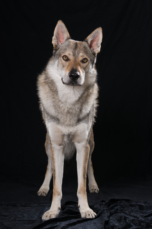 Czechoslovakian wolf dog on black background