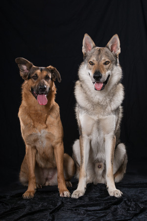 Two dogs on black background
