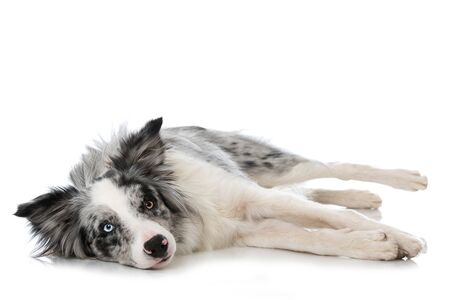 Border collie dog lying isolated on white Stock Photo