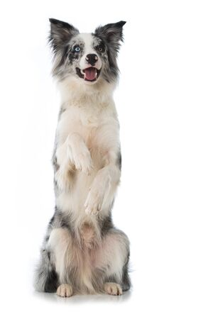 Border Collie dog sitting on legs isolated on white