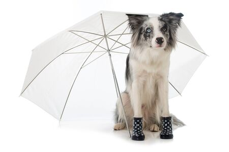 Border collie with rubber boots and umbrella
