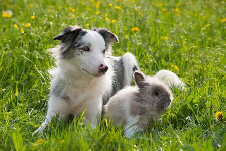 Border collie with rabbit in a meadow
