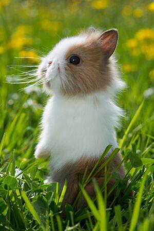 Little dwarf rabbit in a spring meadow