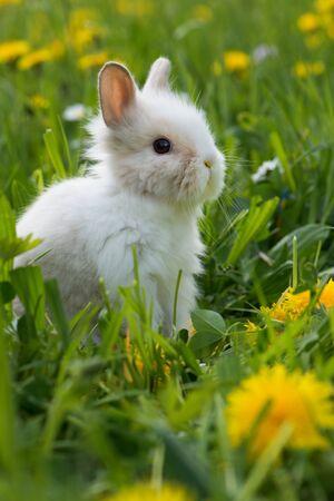 Little dwarf rabbit in a spring meadow Standard-Bild