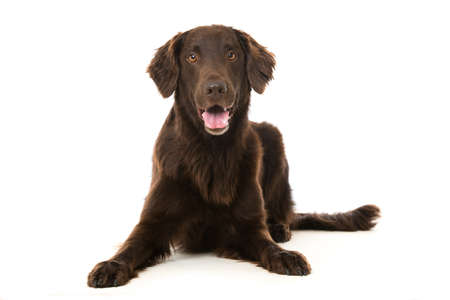 Flat coated retriever dog on white background