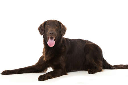 Flat coated retriever dog isolated on white Banque d'images
