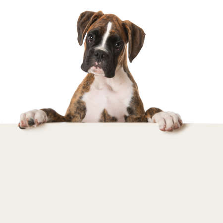 boxer puppy looking over a wall isolated on white background